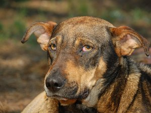 Home Cures for Smelly Dog Ears