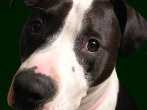 What to Do When Your Pit Bull Puppy Becomes Confrontational