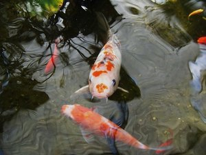 Goldfish Behavior Between Different Sexes