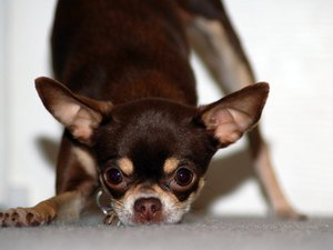 What Causes Seizures in Chihuahuas?