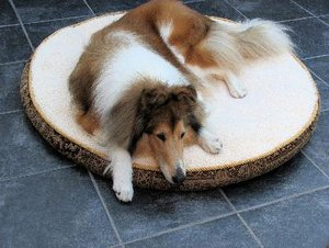 What Is a Sable Collie?