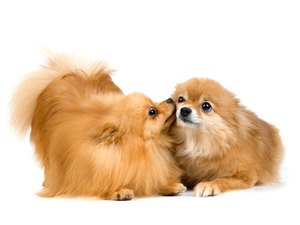 How to Bathe Pomeranians