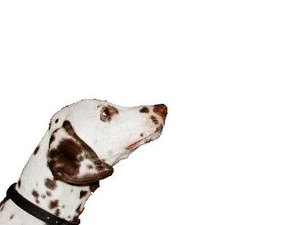 What Color Are Dalmatians When They Are First Born?