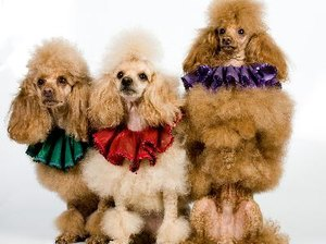 How to Make a Poodle's Coat Shiny & Healthy