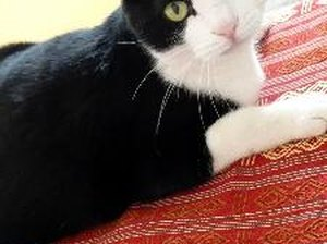 What Is the Origin of Tuxedo Cats?