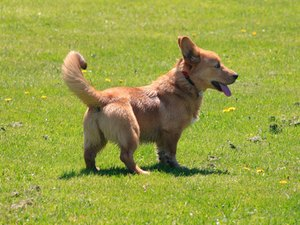 Welsh Corgi Puppies Information