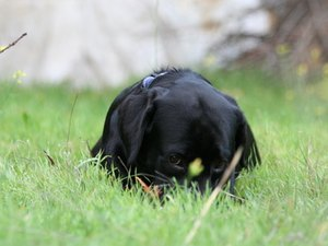Timing for Spaying a Labrador Retriever Puppy