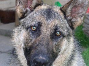 How to Kill Fleas on German Shepherds