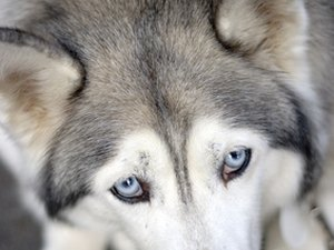Do Blue-Eyed Siberian Huskies Get Cataracts More Than Brown-Eyed?