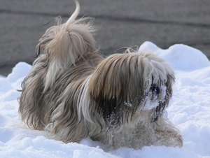 Facts About Shih Tzu Dogs