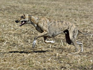 Greyhound's Diet