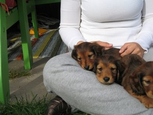 Hypoglycemia in Dachshunds