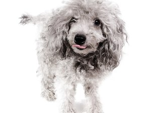 How to Remove Snags from the Hair on a Poodle