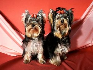 Teacup Yorkshire Terrier Facts