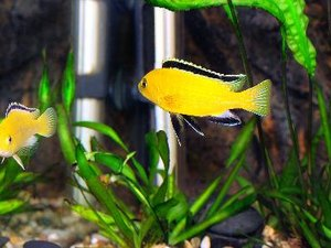 What to Add to a Cichlid Aquarium to Make It More Reeflike