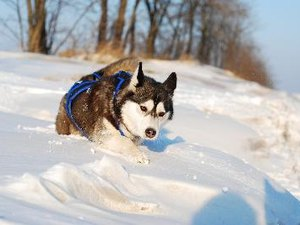 Siberian Husky Pulls When Walking Even With a Harness