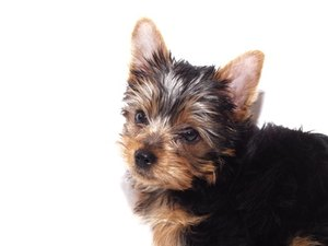 How to Get Rid of Fleas on Your Yorkie