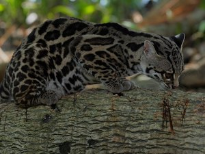 What Is a Margay Cat?
