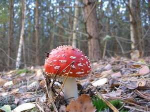 Are Wild Mushrooms Poisonous to Dogs?