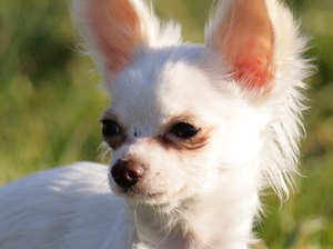 Hypoglycemia Symptoms in a Chihuahua Puppy