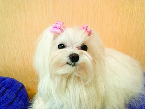 What Health Problems Are Common in Maltese Dogs?
