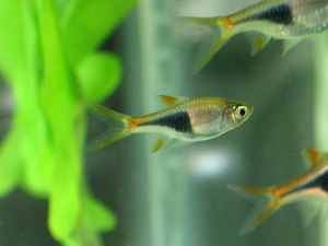 How to Care for a Harlequin Rasbora
