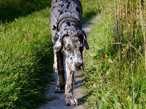 A Great Dane Versus a Doberman Pinscher