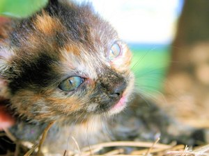 What Is a Calico Kitten?