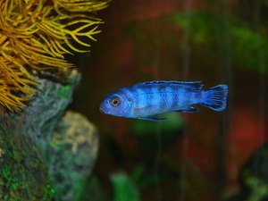 What Other Species Can a Cichlid Live With?