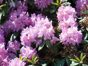 Are Rhododendrons Poisonous to Dogs?