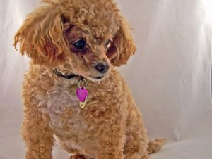 How to Give a Poodle a Puppy Cut