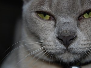Burmese Cats & Their Traits