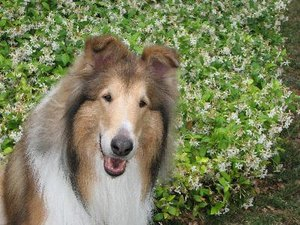 How to Improve a Collie's Coat