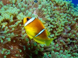 Differences Between Guppies & Clownfish