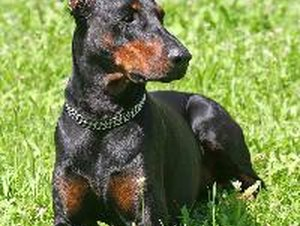 Wobbler Disease in a Doberman Pinscher
