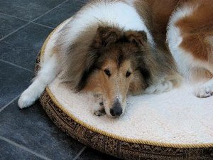 How to Stop a Dog From Destroying a Dog Bed