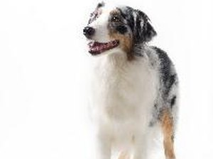 Do Australian Shepherds Have a Tendency for Seizures?