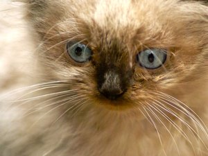 Are Himalayan Cats Mean Tempered?