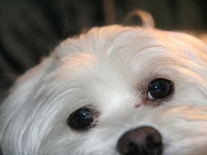 How Much Should I Feed My Maltese Puppy?