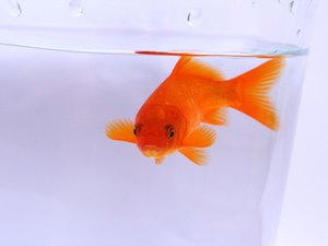 What Happens When Your Goldfish Has Fin Rot?