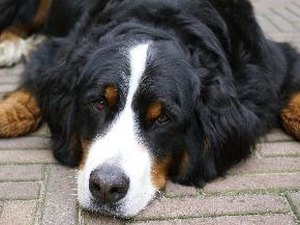 How to Clean a Bernese Mountain Dog's Ears