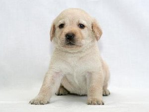 How to Stop a Labrador Puppy's Aggressive Behavior
