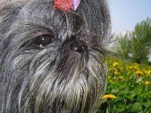 What Is the Difference Between Lhasa Apso & Shih Tzu Dog Breeds?
