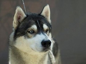Are Huskies & Alaskan Malamutes the Same Thing?
