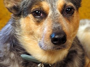 The Life Expectancy of Australian Cattle Dogs