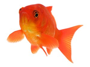Facts on What Goldfish Eat