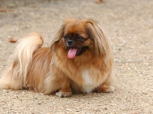 How Often Should You Walk a Shih Tzu Dog?