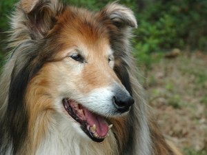 Ivermectin Toxicity in Collies