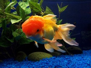 Behavior of an Oranda Goldfish