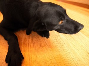 How to Clean Dog Pee Off of Hardwood Floors